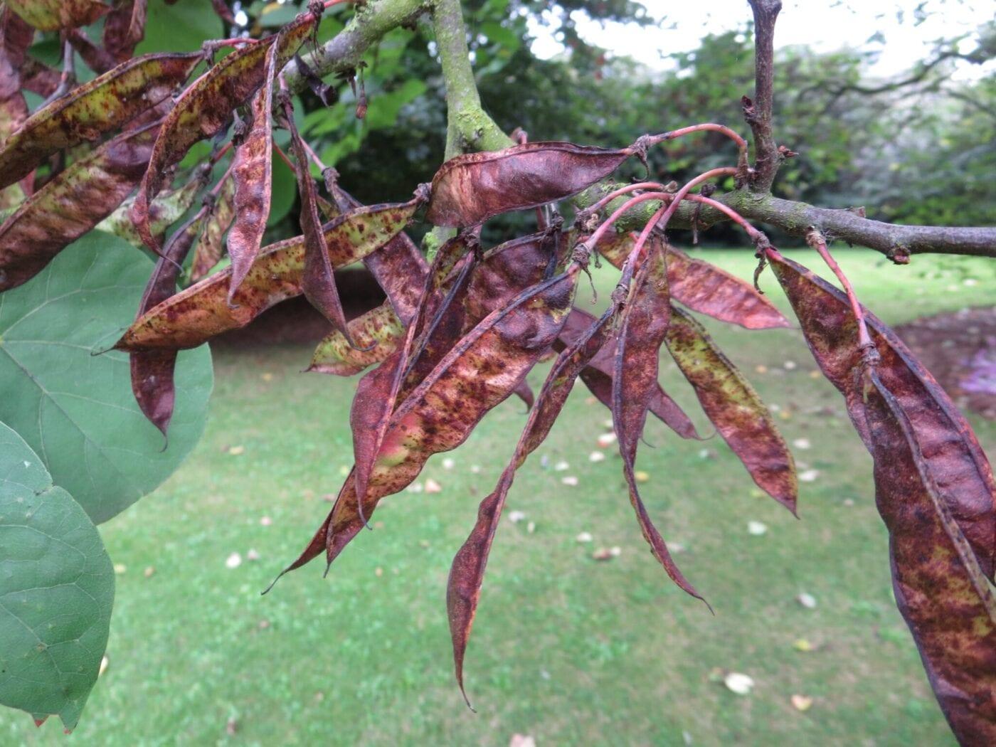 Judas Tree pods in autumn