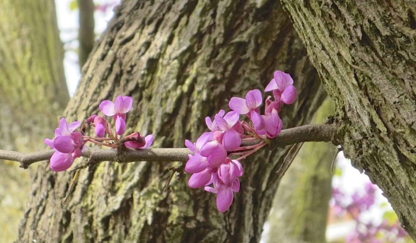 Judas Tree flowers on a bare shoot