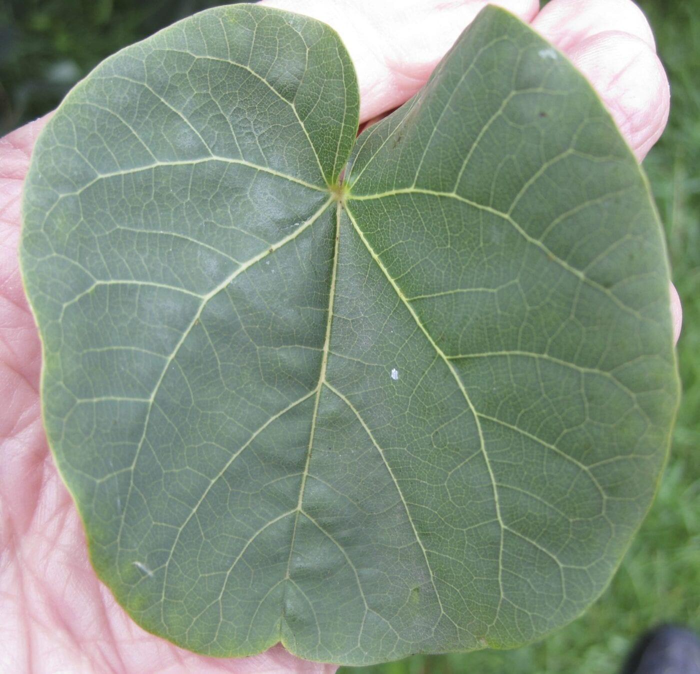 Judas Tree leaf