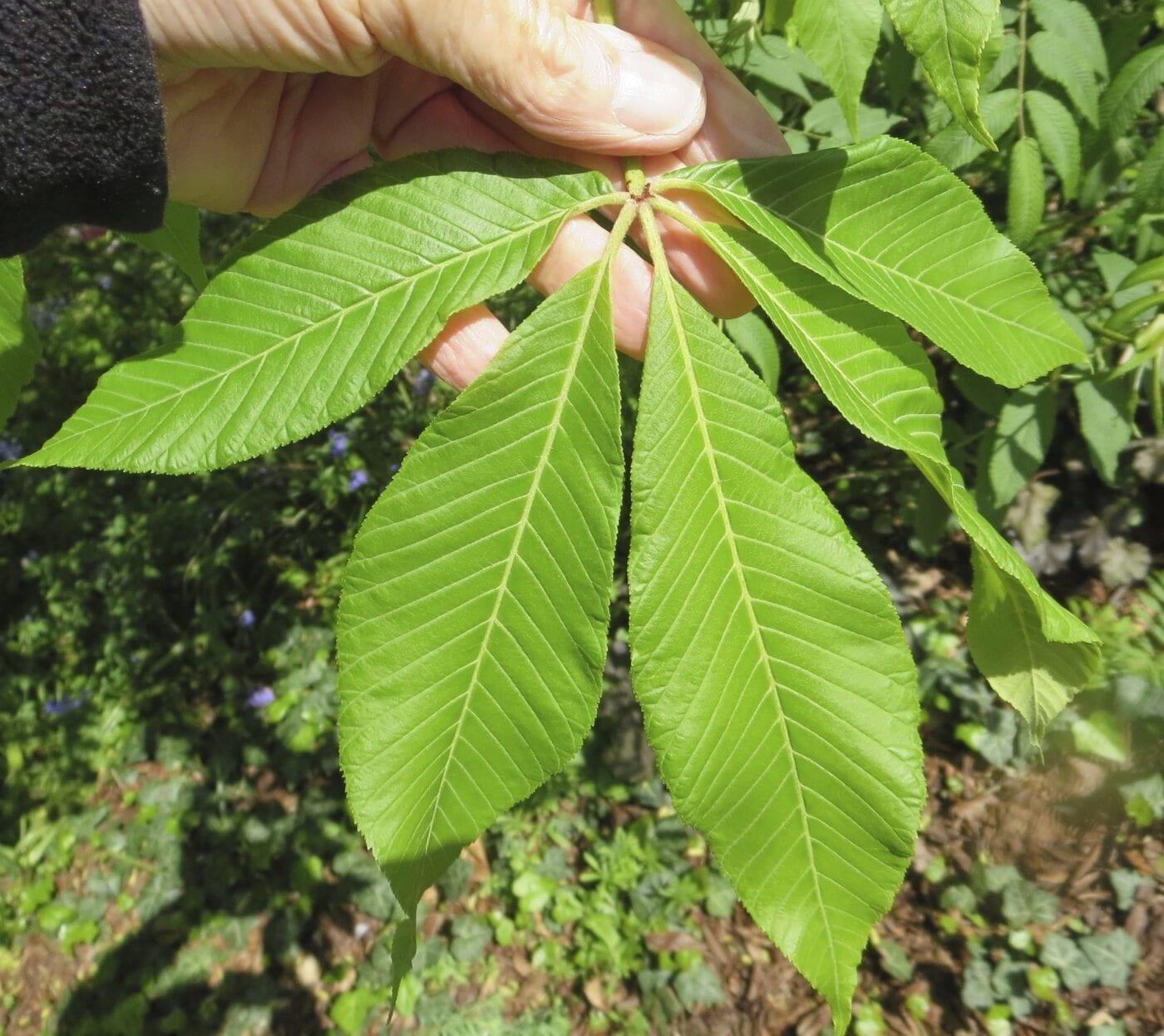 Yellow Buckeye leaf