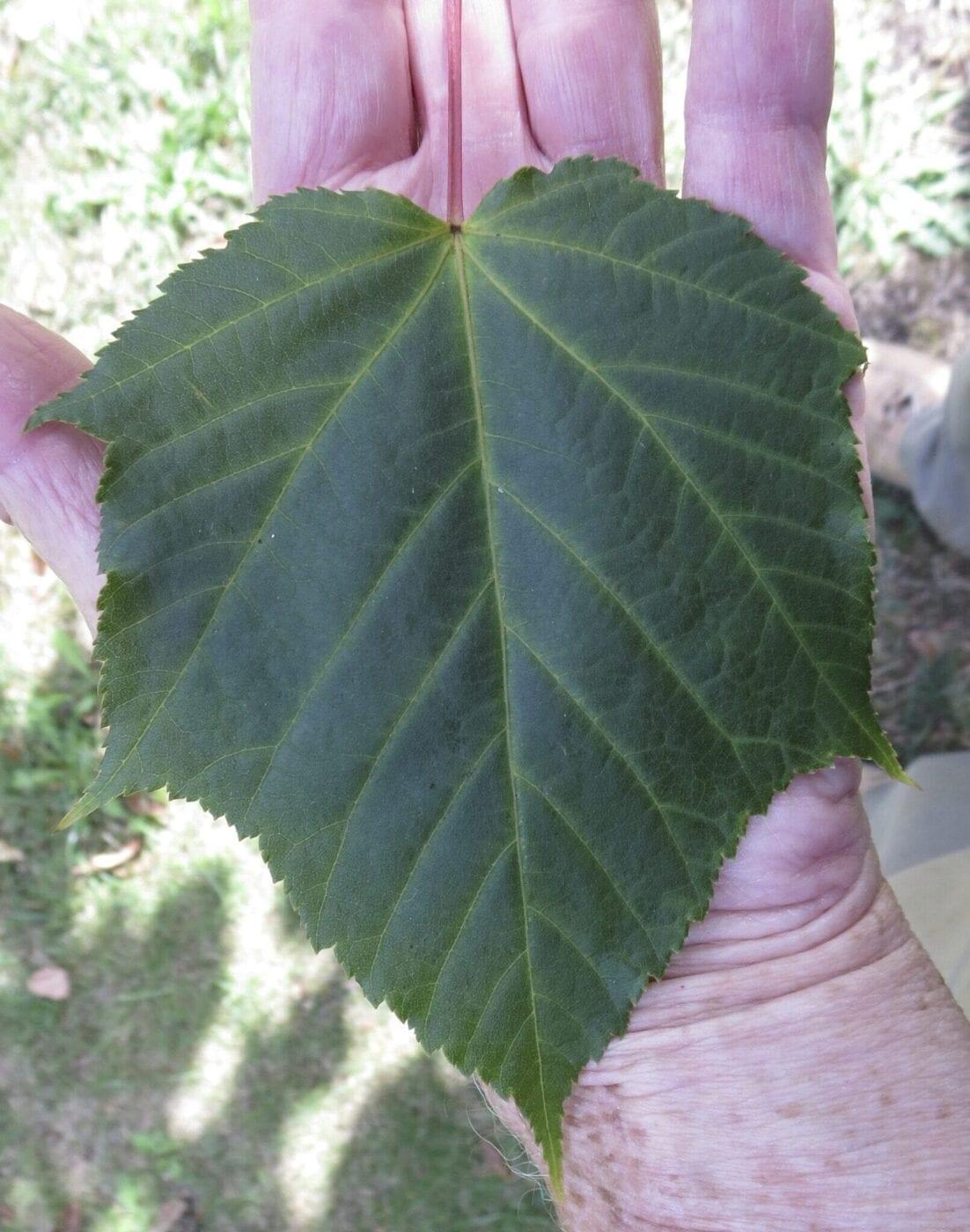 Red Snake-bark Maple leaf