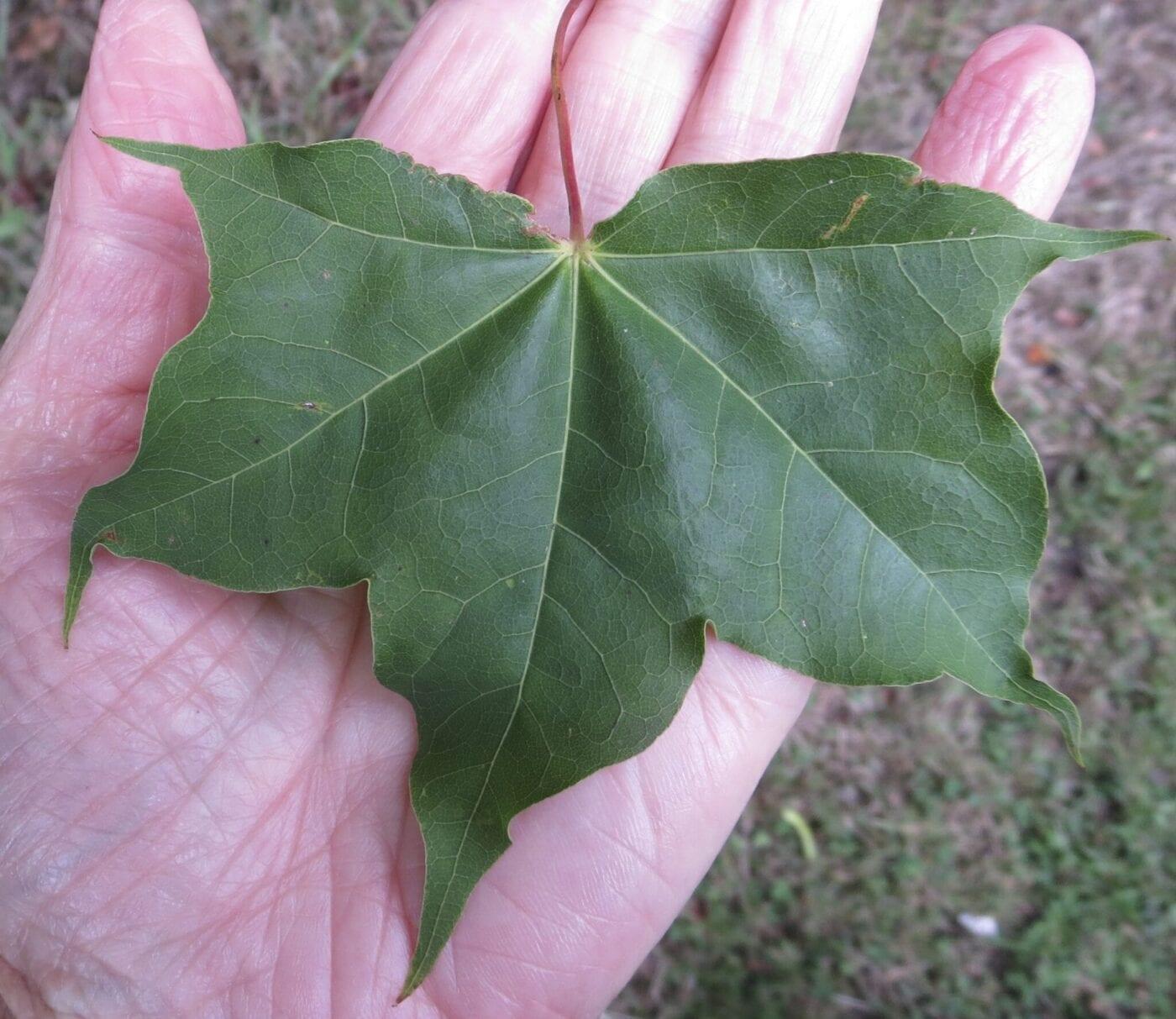 Cappadocian Maple leaf