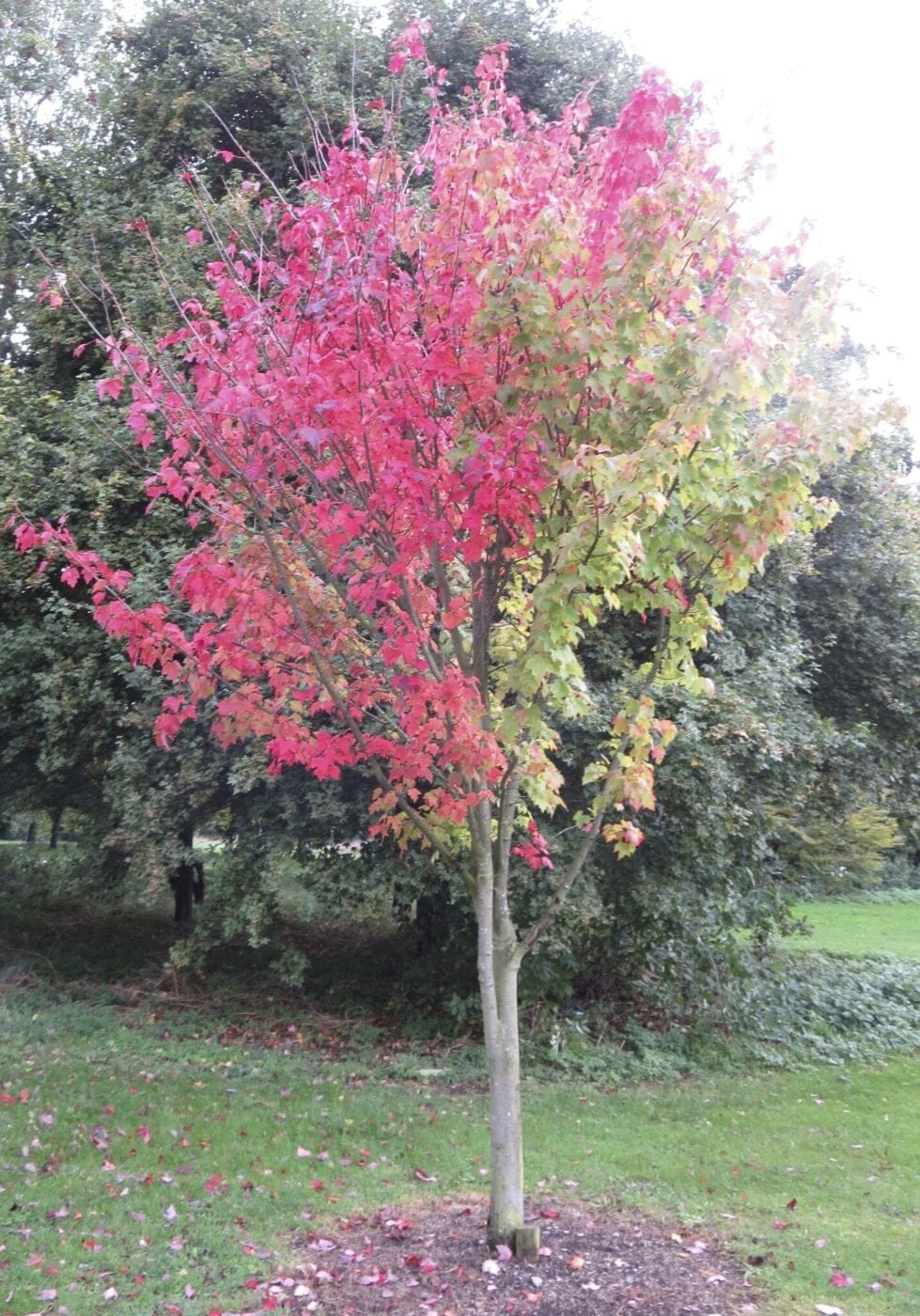 Red Maple tree in October