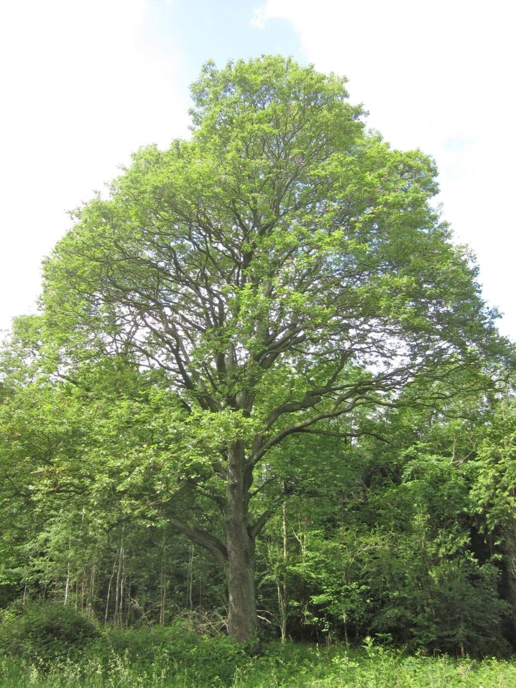 mature Service tree
