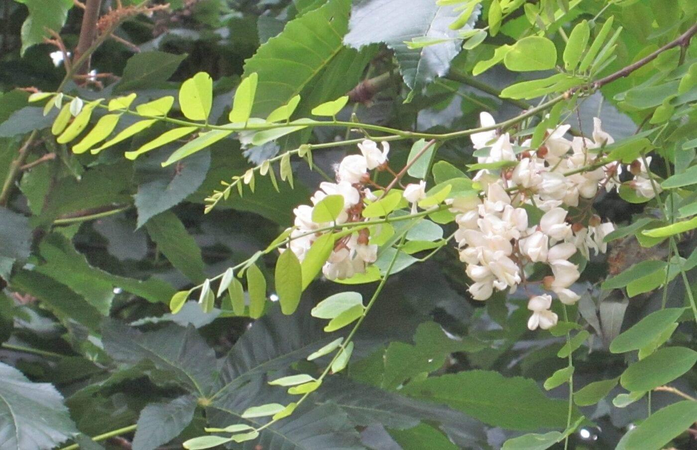 False Acacia flowers