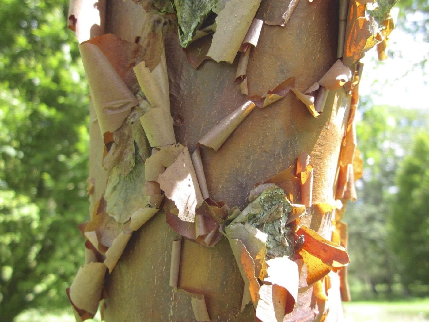 Paper Bark Maple bark