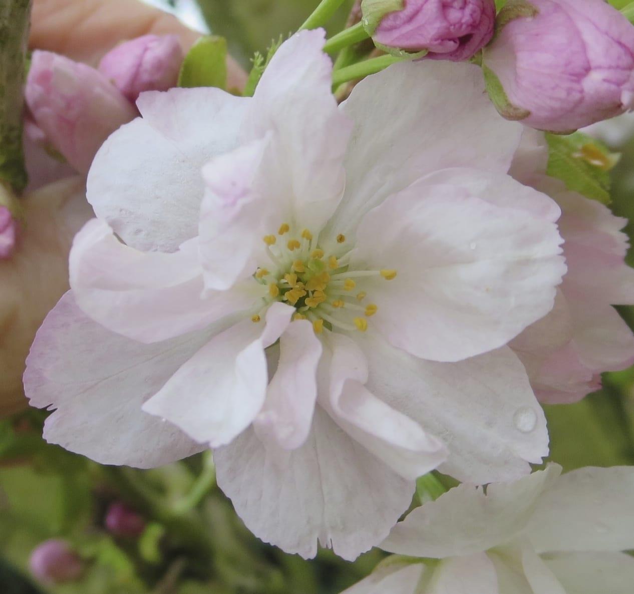 'Amanogawa' Cherry flower