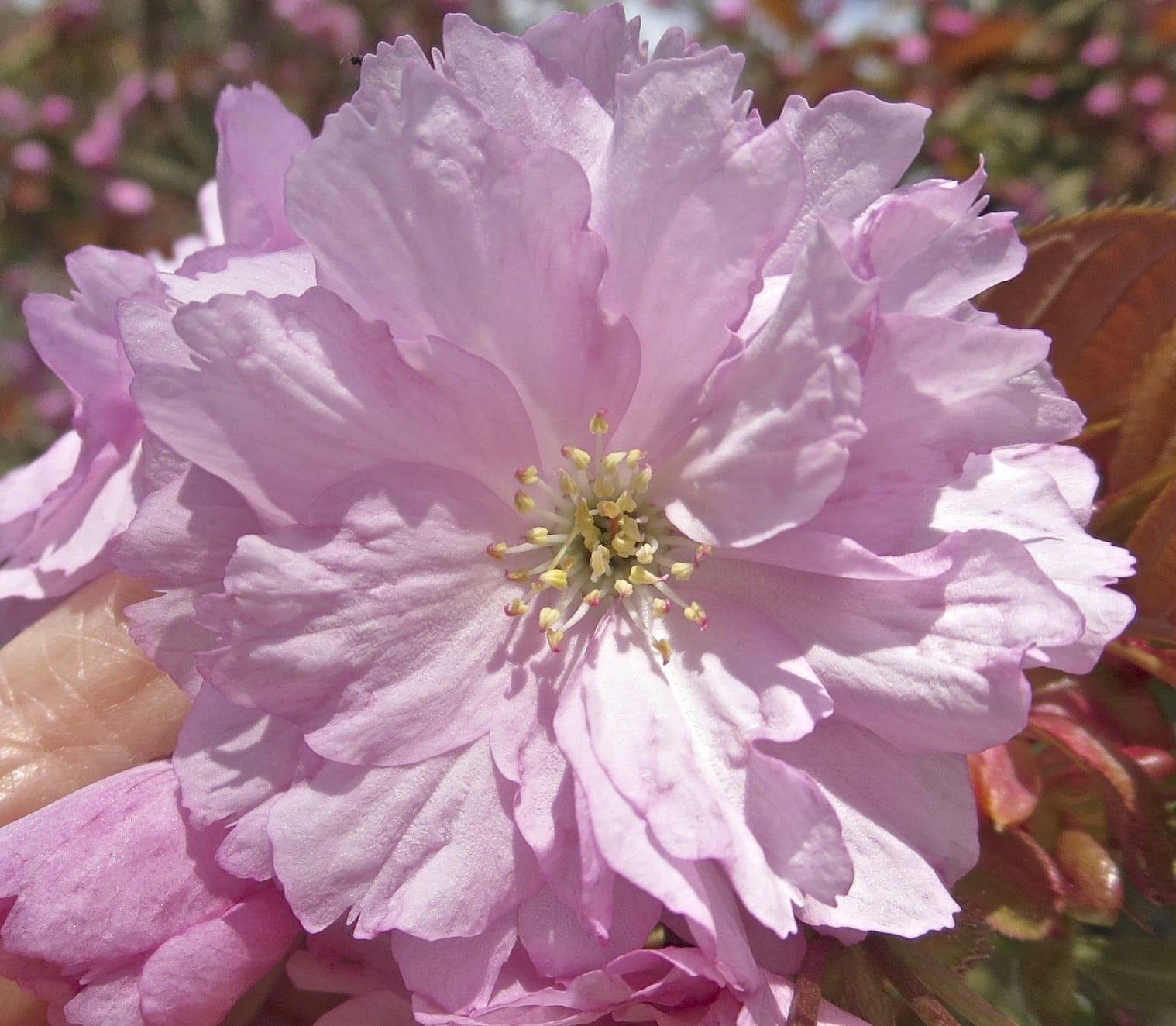'Kanzan' Cherry flower