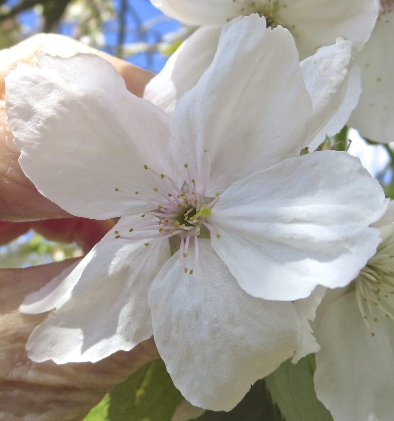 'Tai Haku' Cherry flower