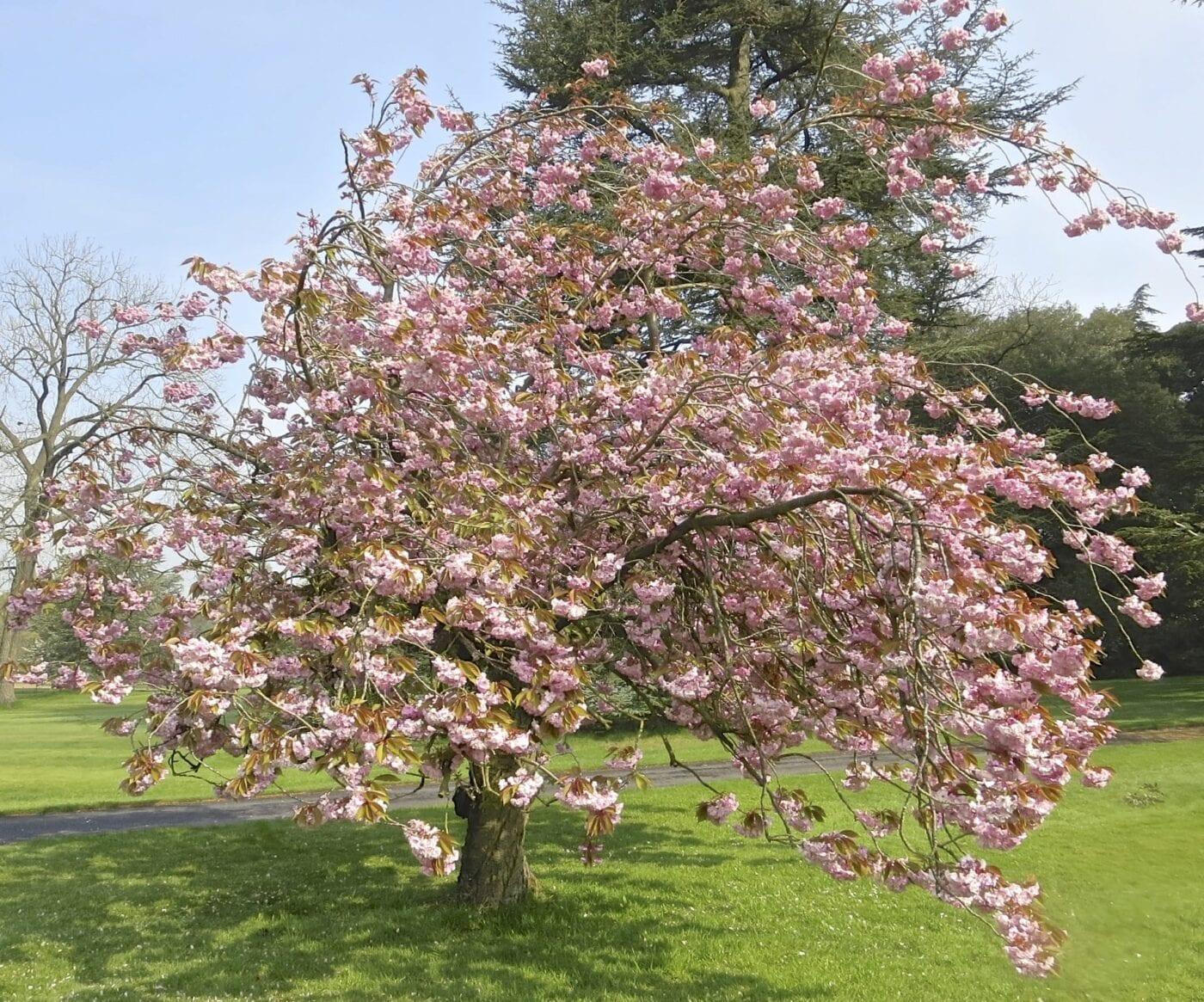 'Kanzan' Cherry tree