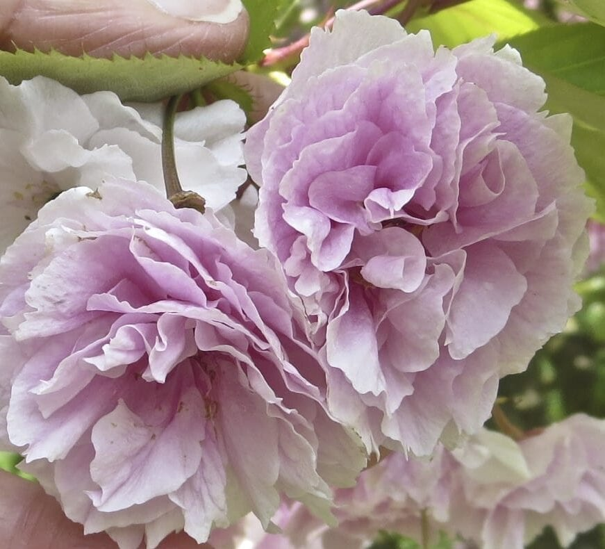 'Shirofugen' Cherry flower