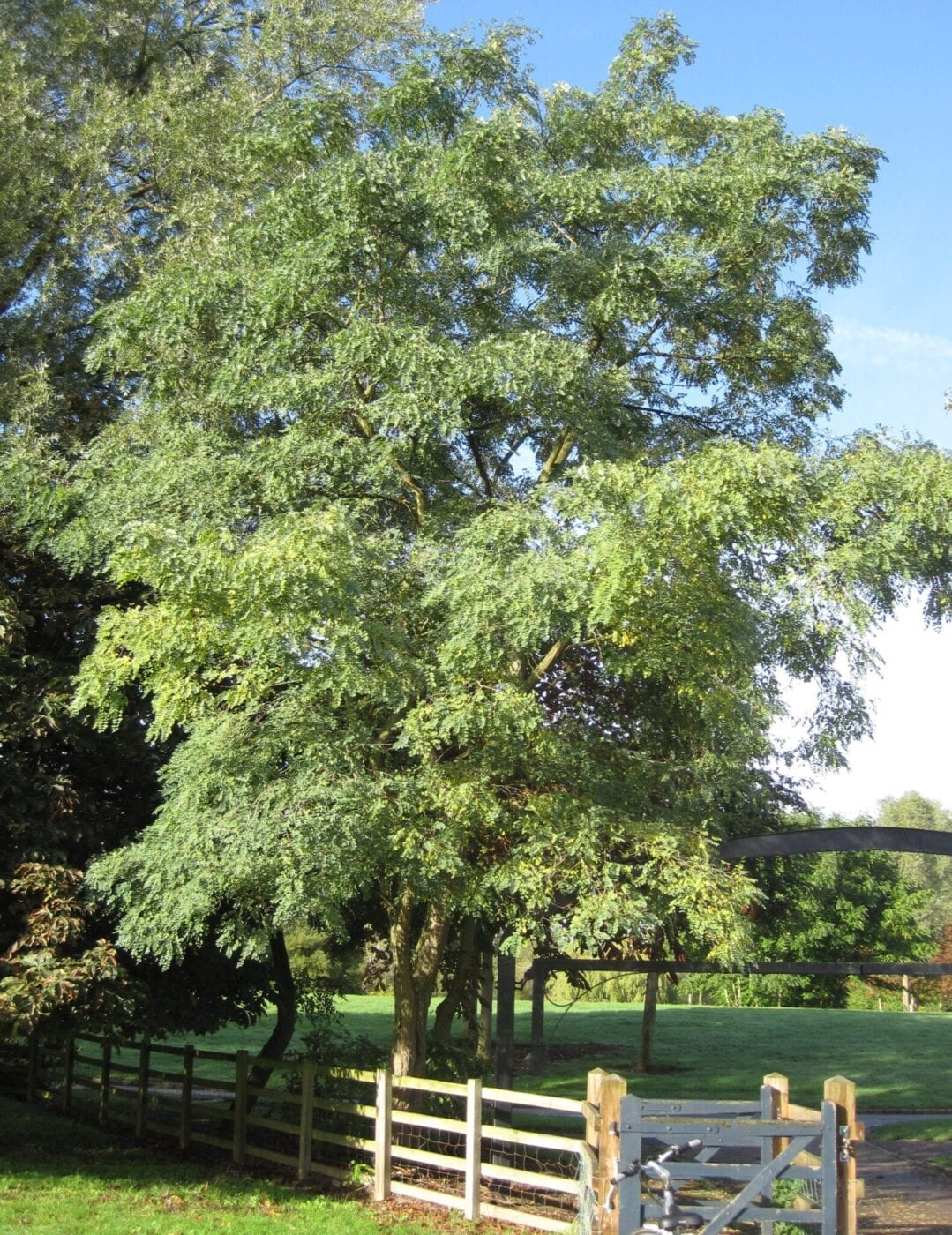 False Acacia tree