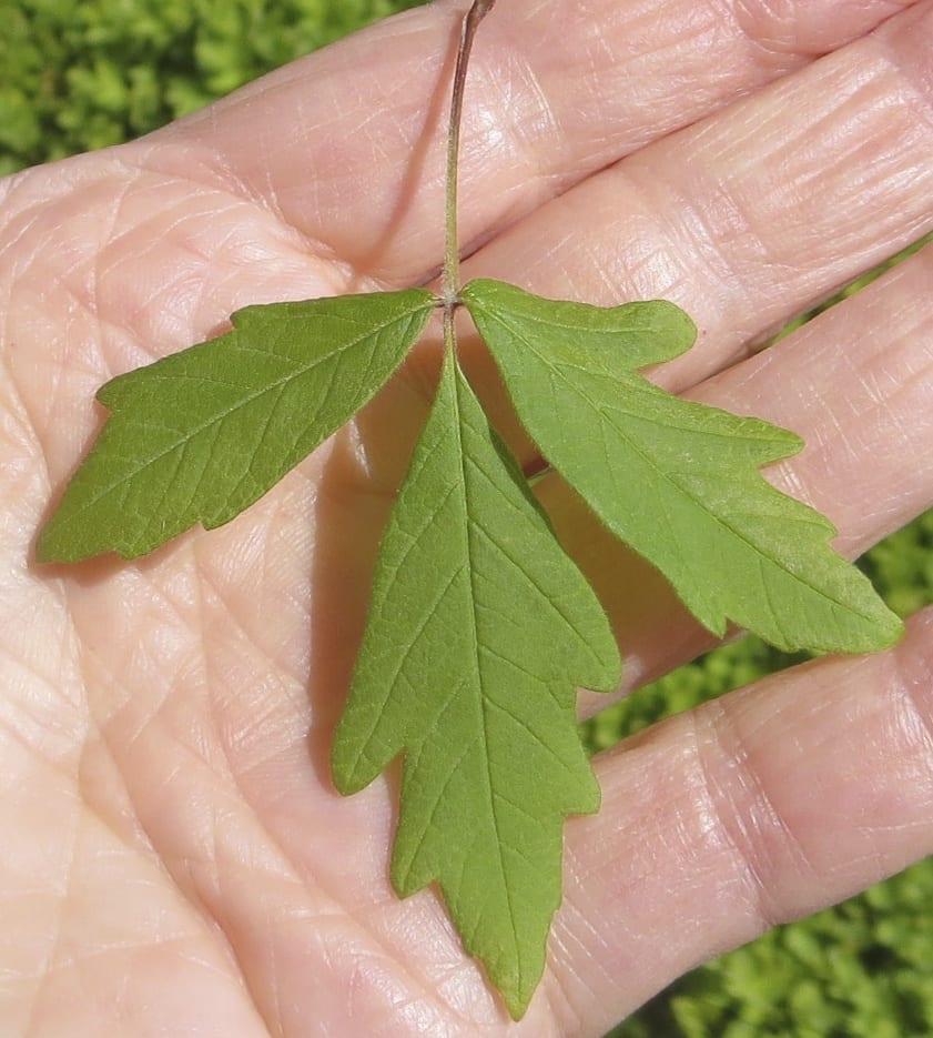 Paper Bark Maple trifoliate leaf
