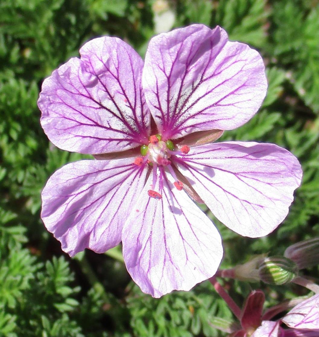 europium petraeum flower