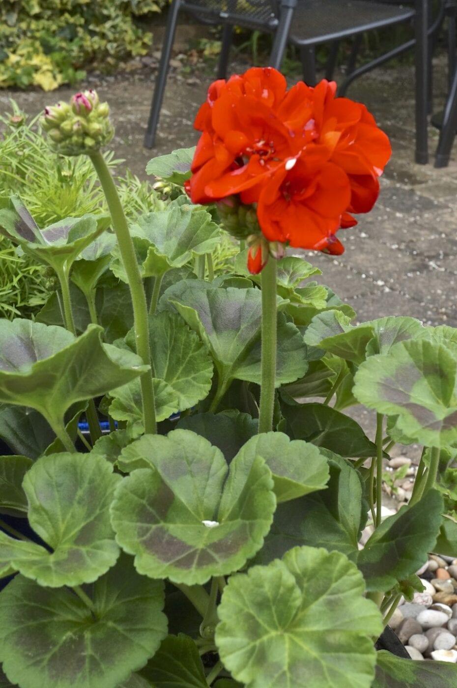 horseshoe geranium flowers