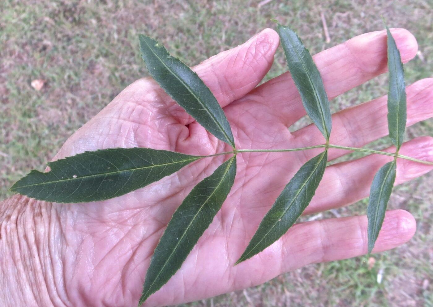 Claret Ash leaves in summer