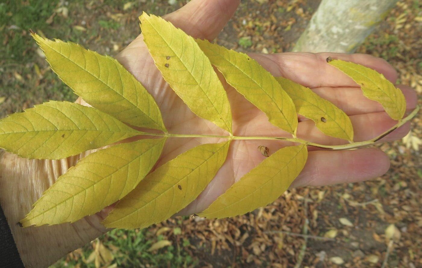 Golden Ash leaf