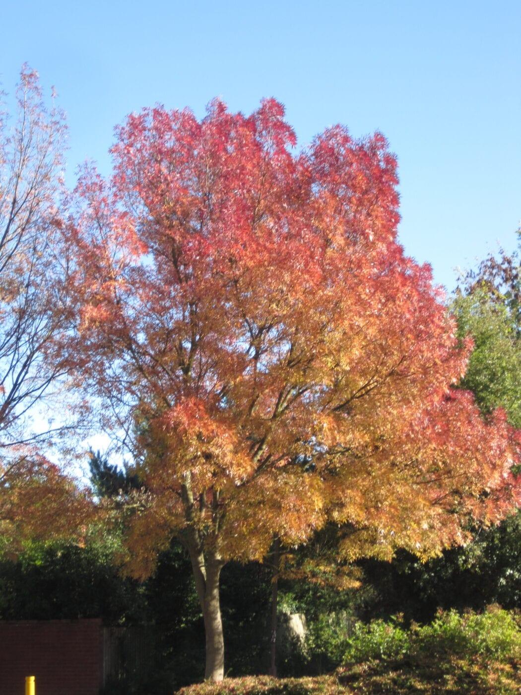 Claret Ash tree