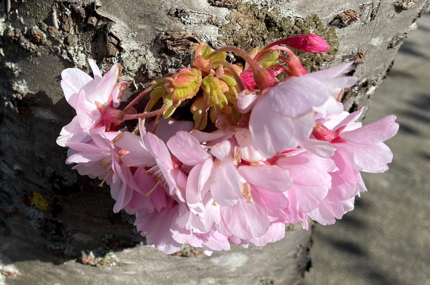 Sargent's Cherry flower