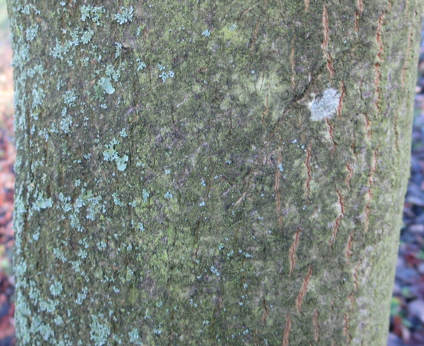 Table Dogwood bark