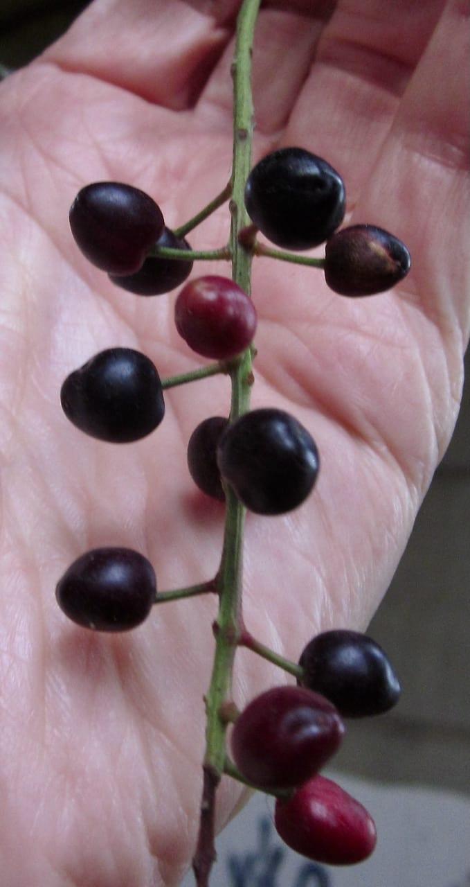 Portugal Laurel fruit
