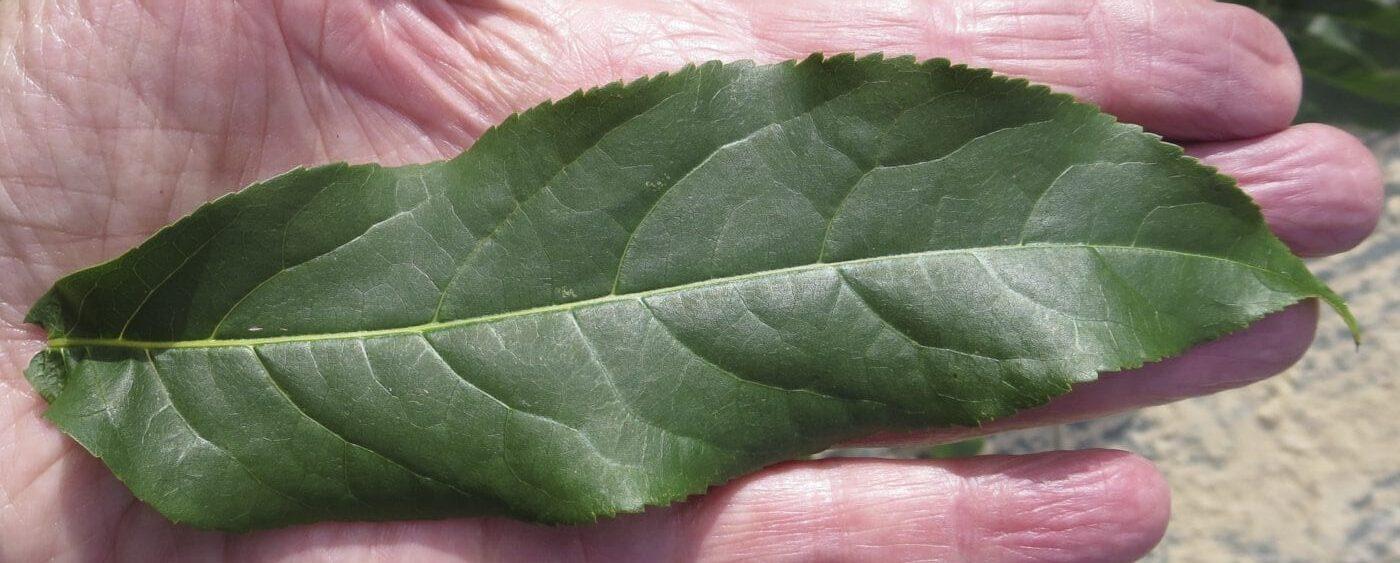 Caucasian Wingnut leaflet
