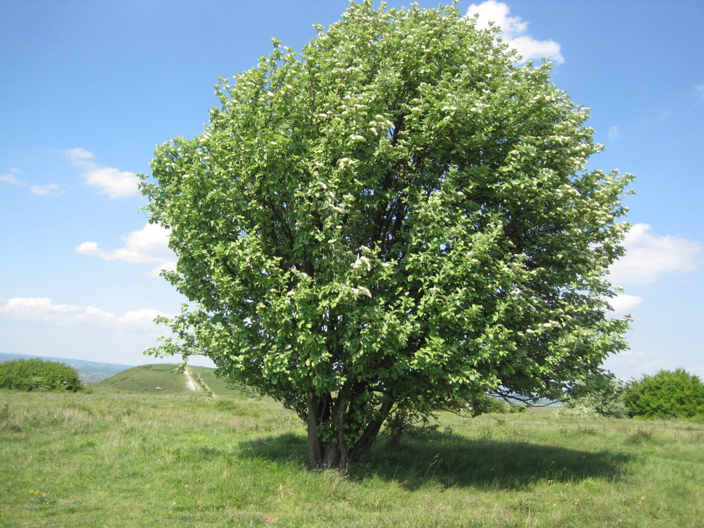 Common Whitebeam tree