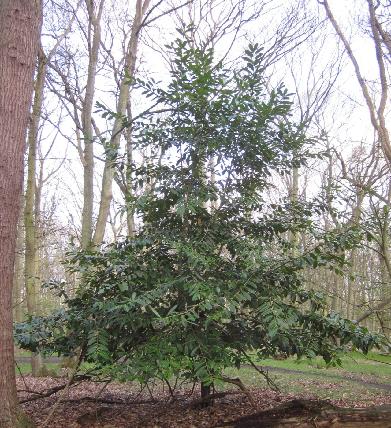 Cherry Laurel tree