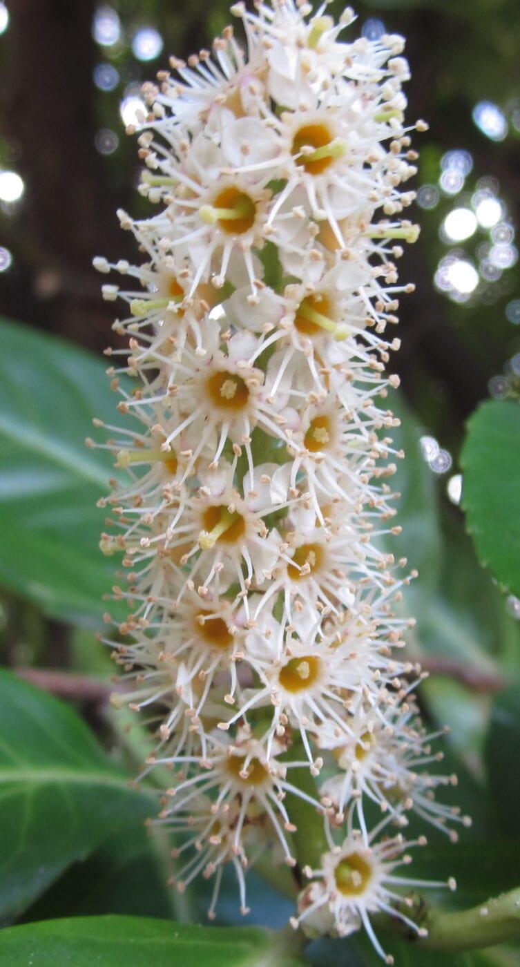 Cherry Laurel flower spike