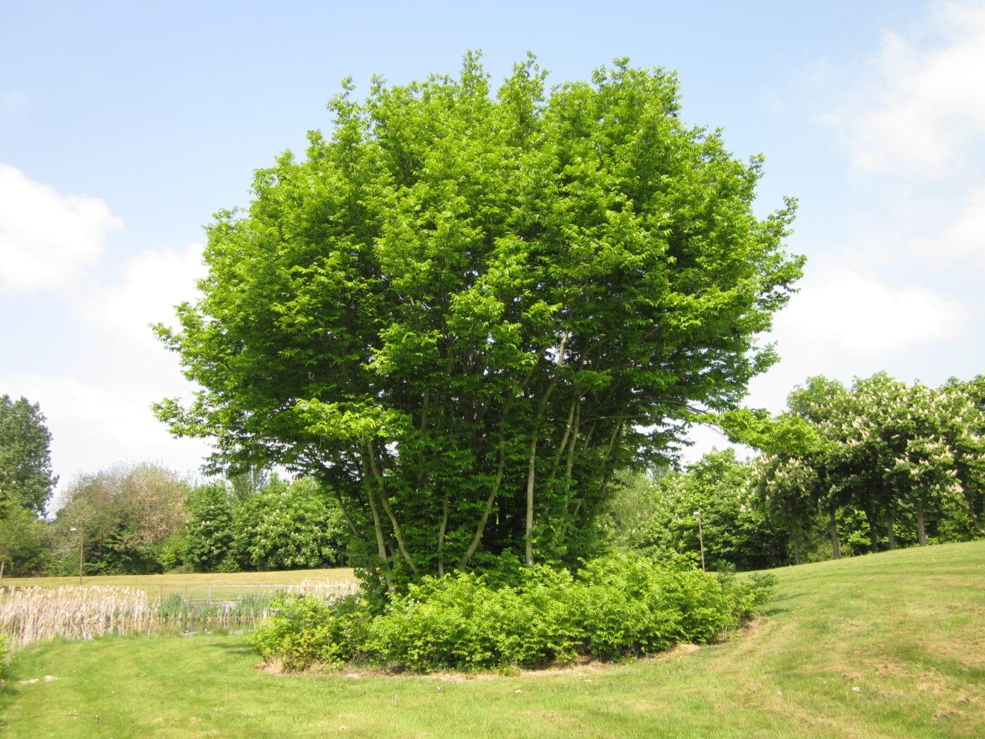 Caucasian Wingnut tree