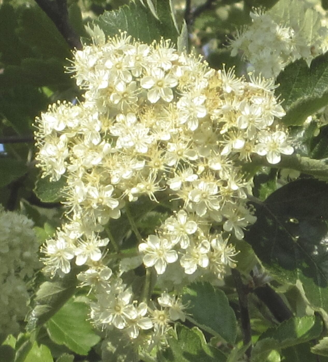 Swedish Whitebeam flowers