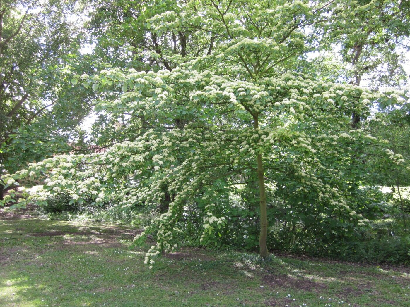Table Dogwood tree