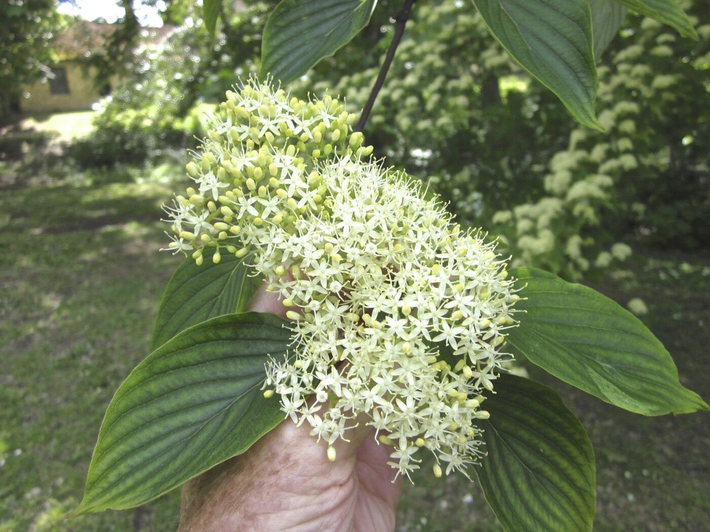 Table Dogwood flowers