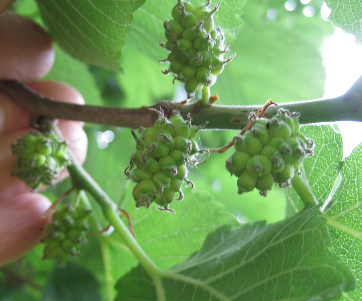 Black Mulberry female flower clusters