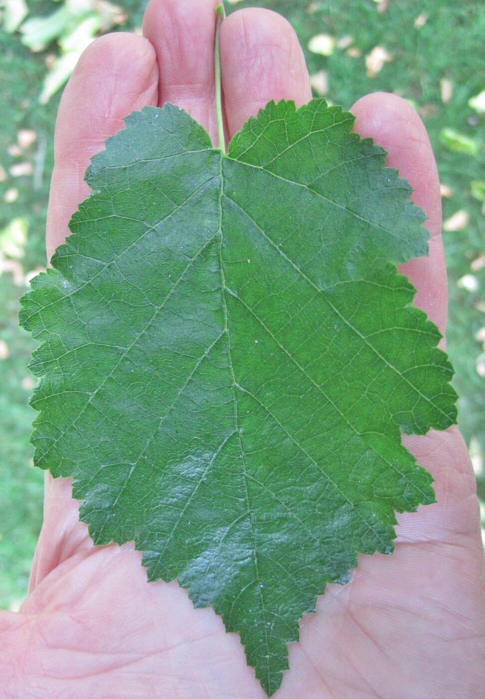 Turkish Hazel leaf