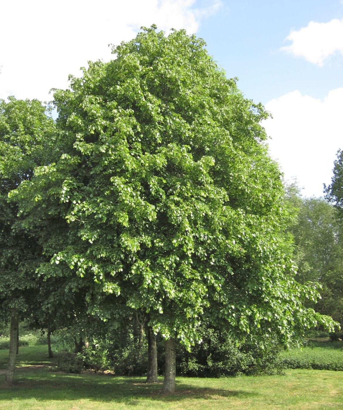 Crimean Lime trees