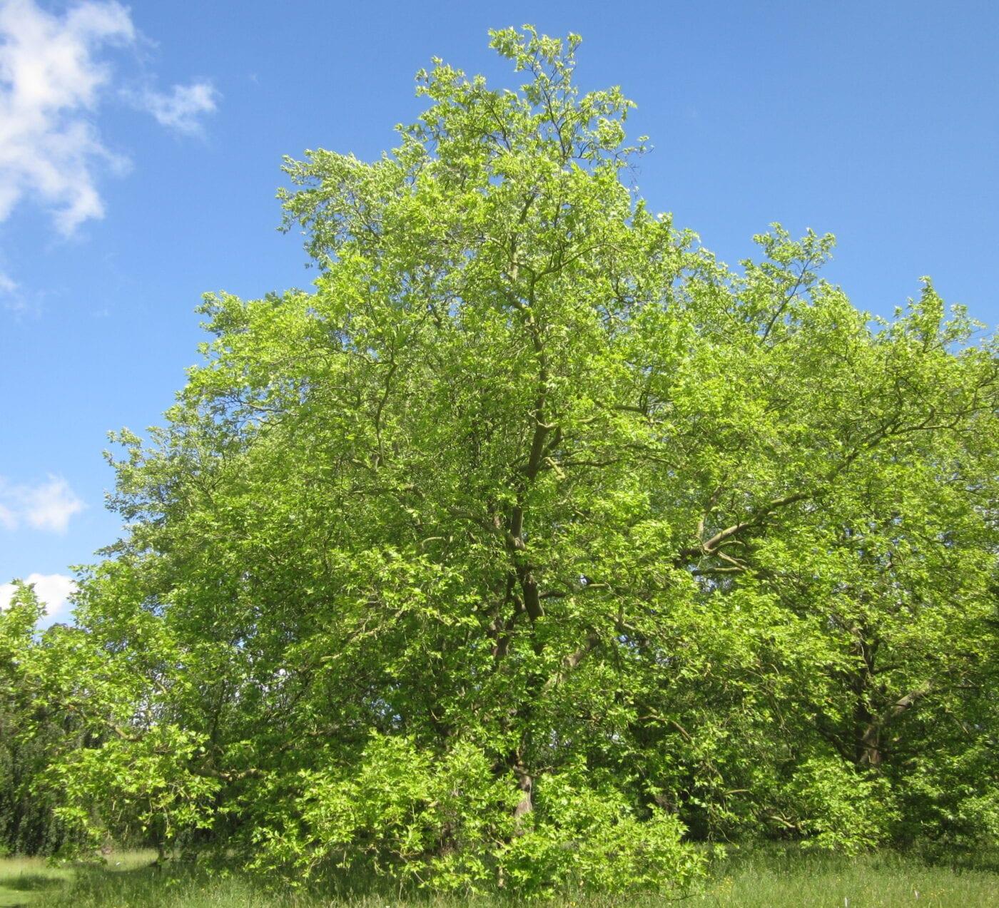 Oriental Plane tree
