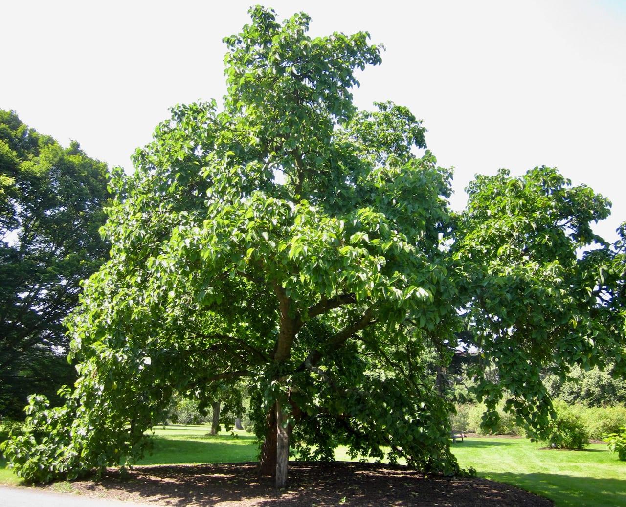Black Mulberry tree