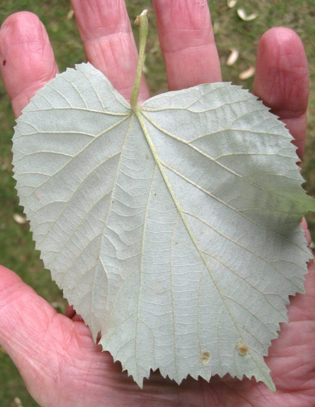 Silver Lime leaf