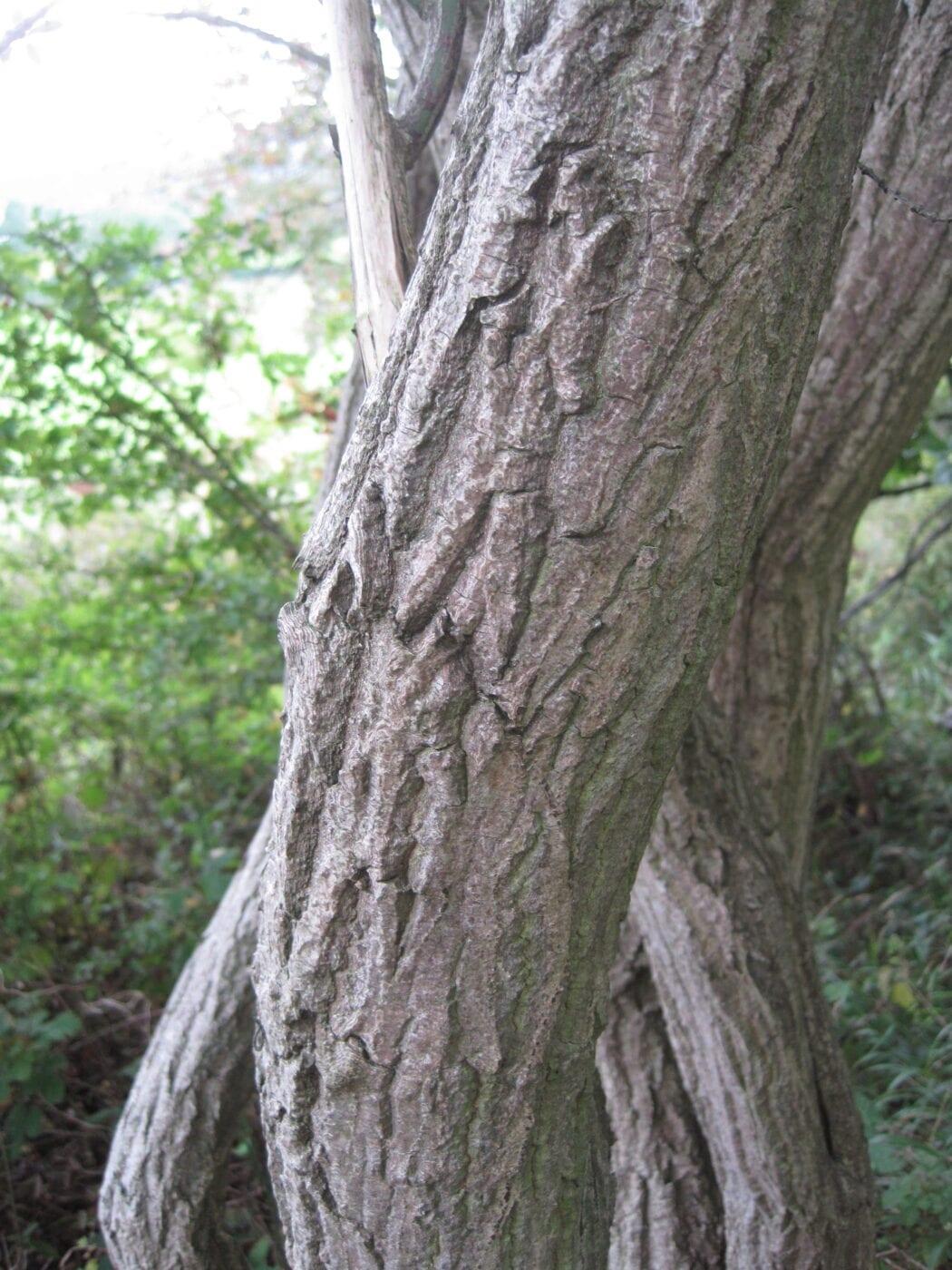 Spindle tree bark