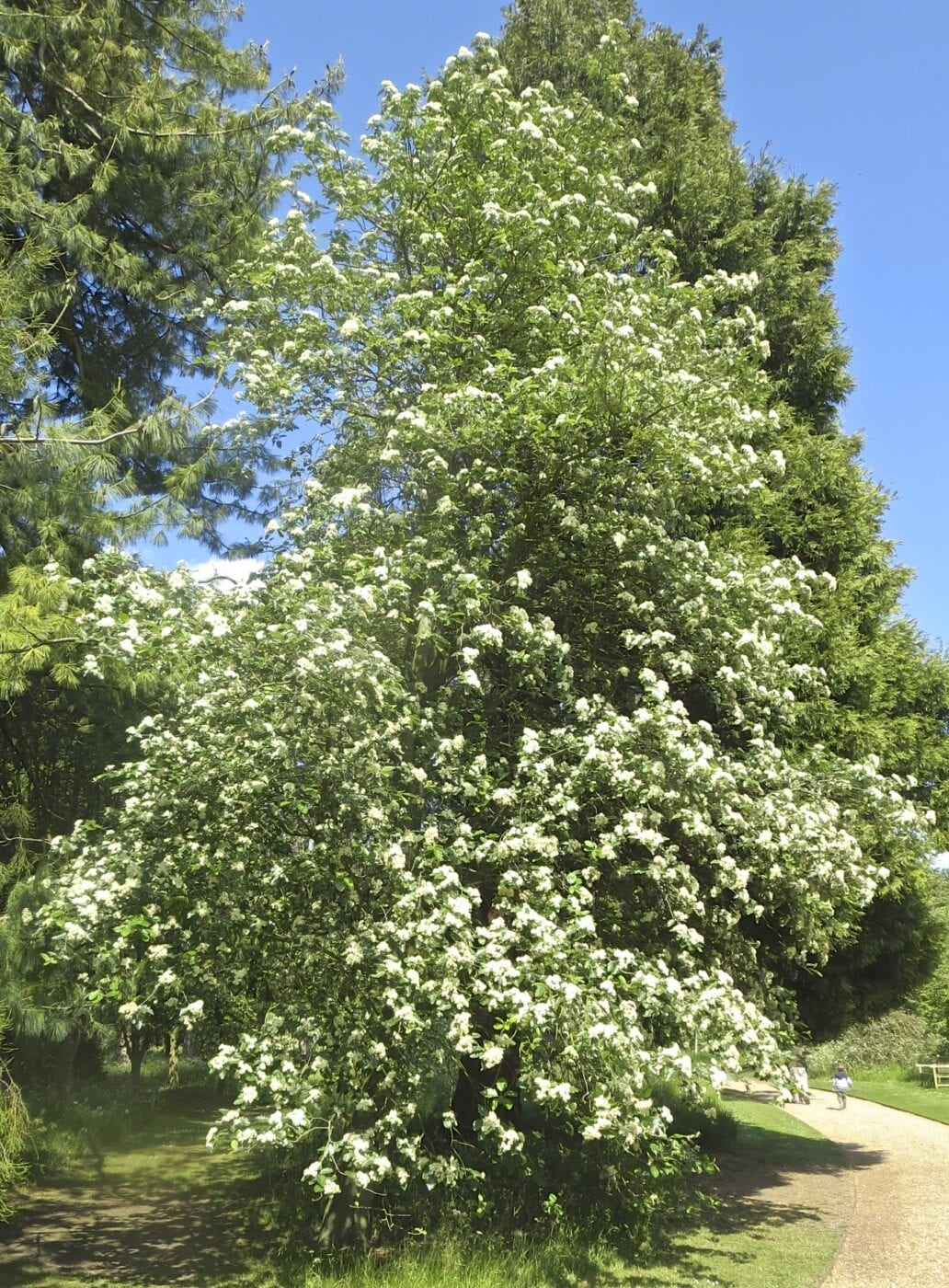 Swedish Whitebeam tree