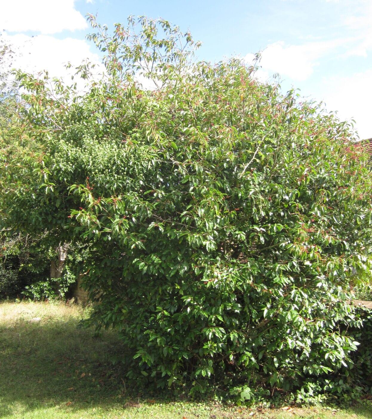 Portugal Laurel tree