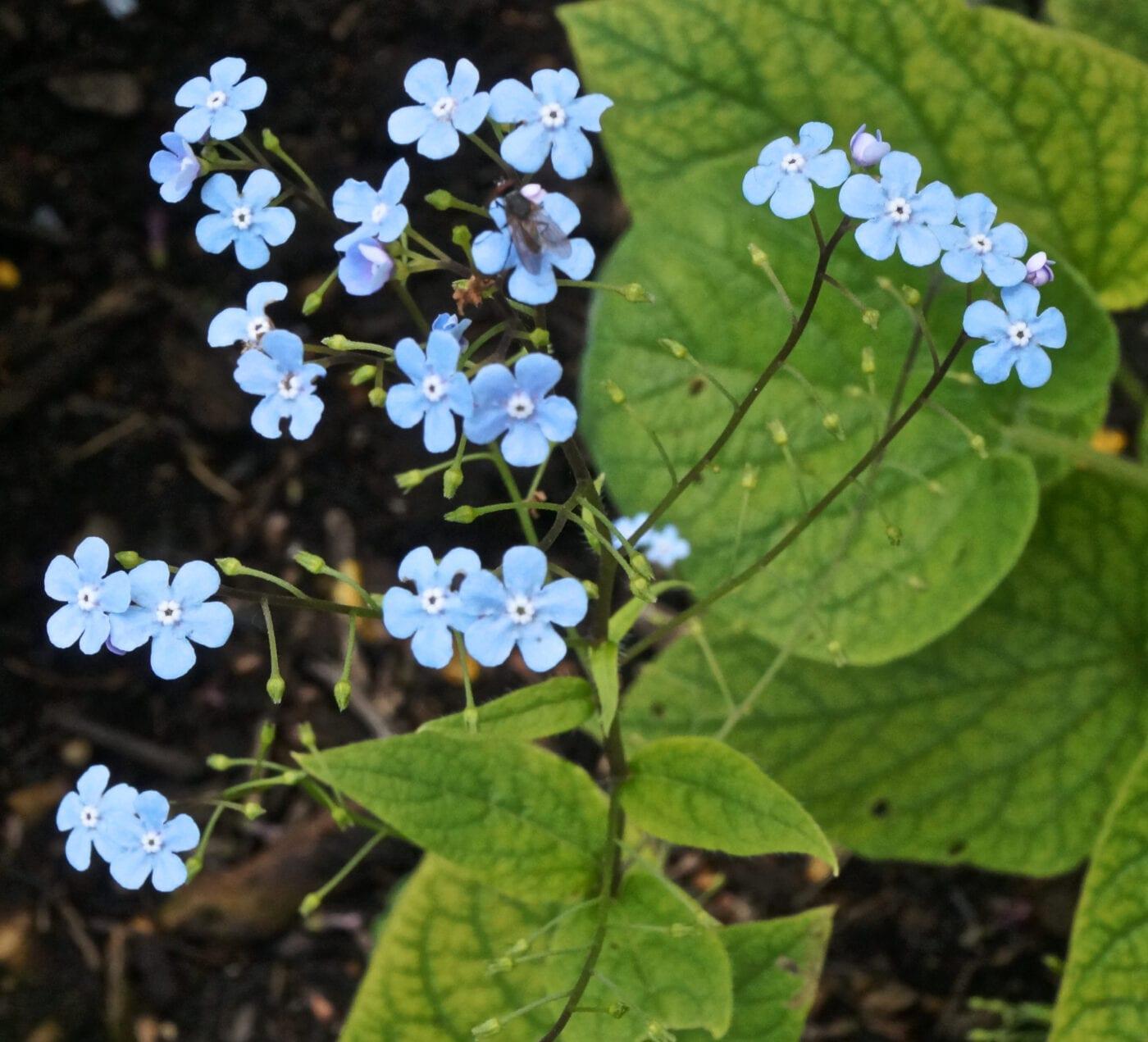 Siberian Bugloss flowers