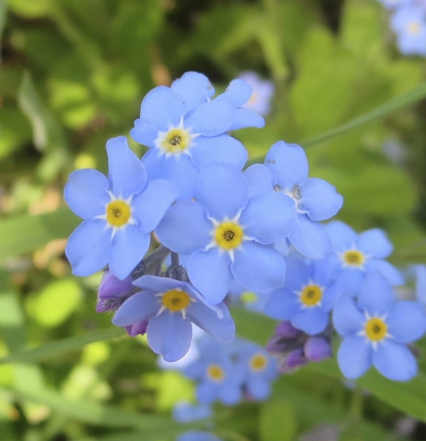 Wood Forget-me-not flowers