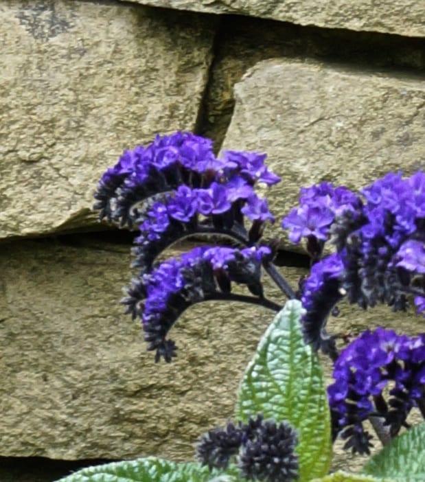 common heliotrope flowers