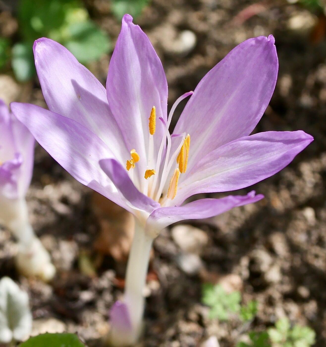 meadow saffron flower