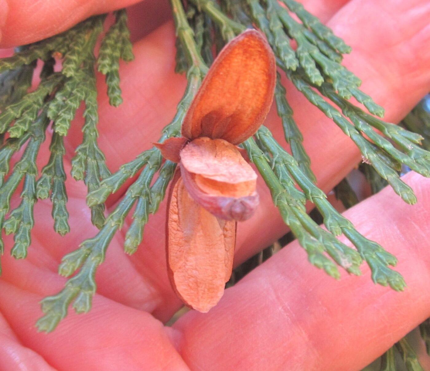 Incense Cedar cone and seeds