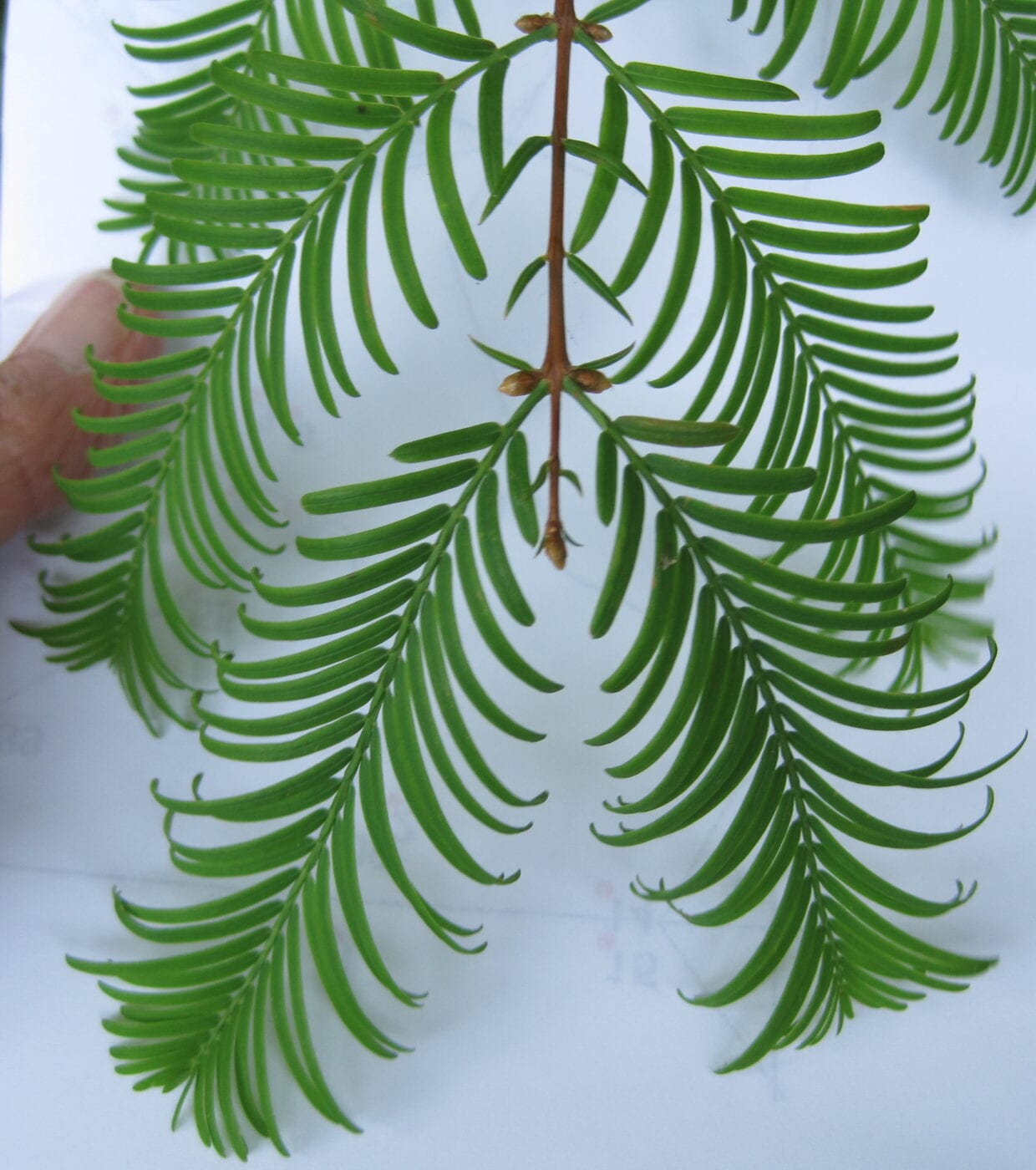 Dawn Redwood opposite leaves and shoots