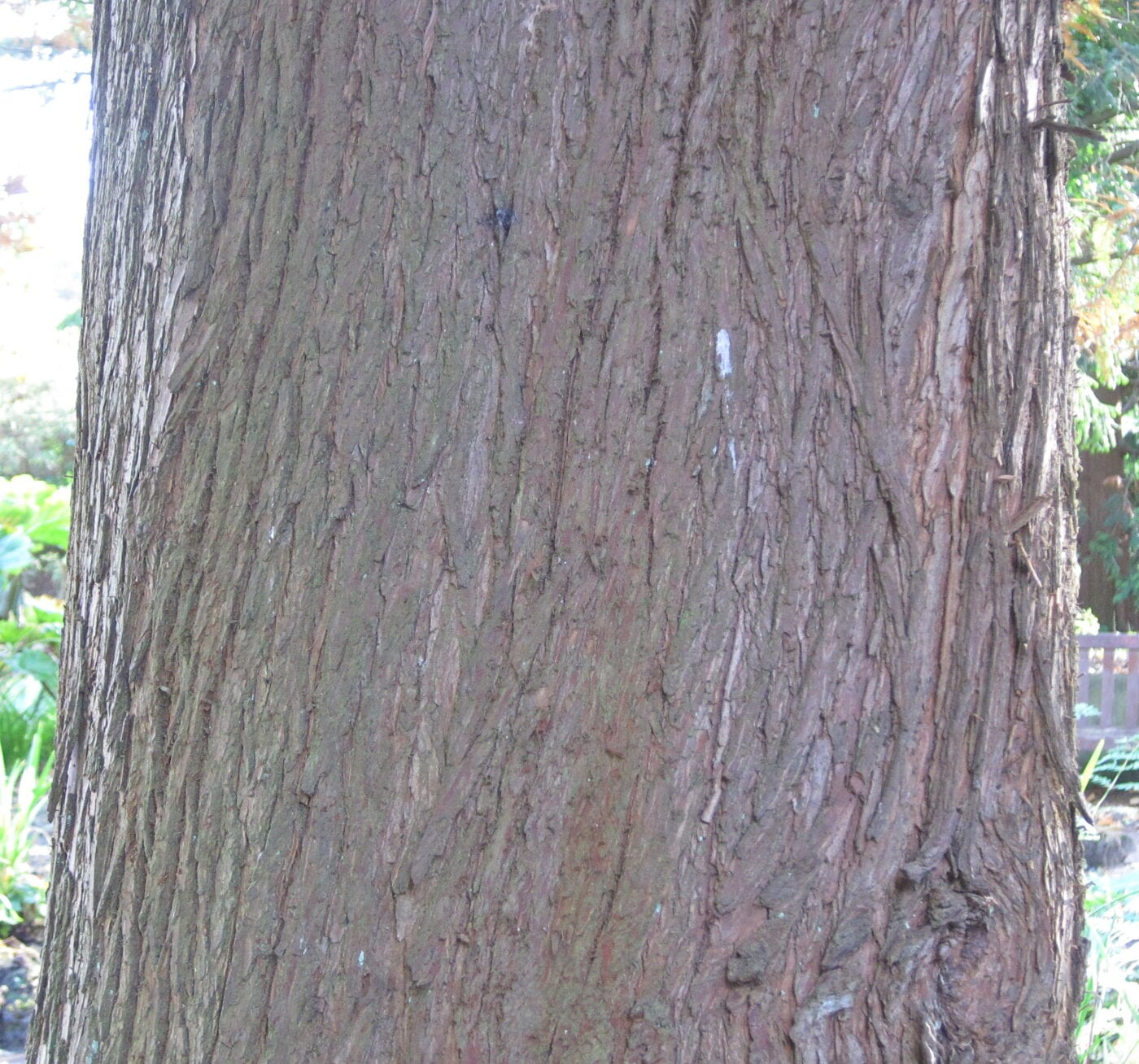 Swamp Cypress bark