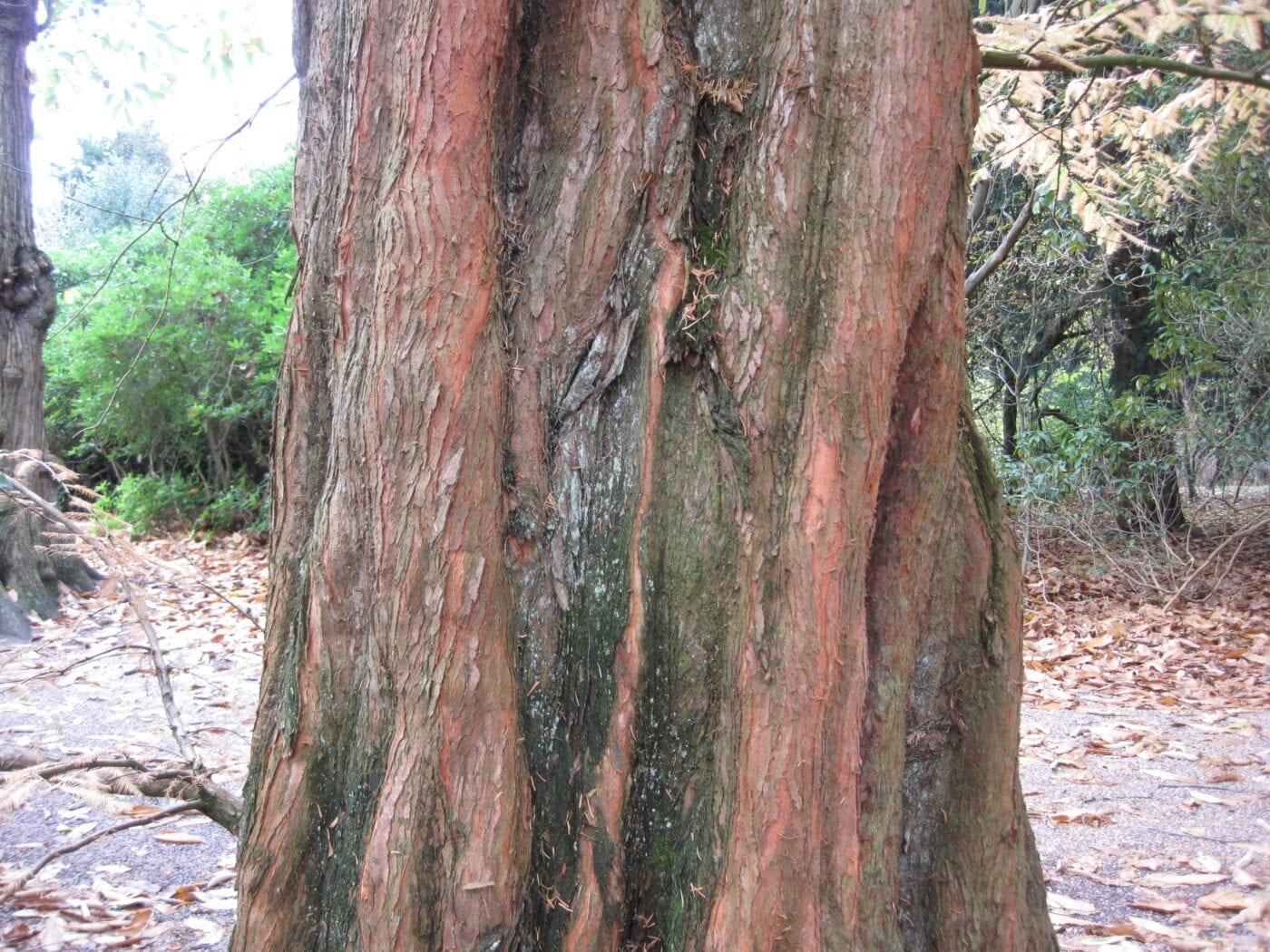 Dawn Redwood bark